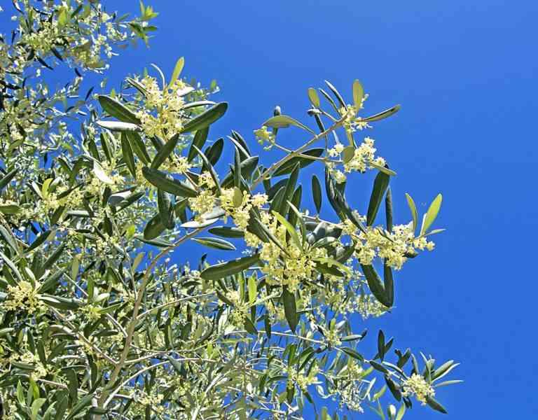 fioritura ulivo